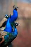 Three Peacocks Stock Image
