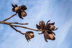 Three pecan nut clusters on a branch with a blue sky background royalty free stock photos