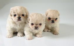 Three pekinese puppies Stock Photography
