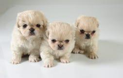 Three pekinese puppies. Six weeks old pure breed Pekinese puppies stock photography