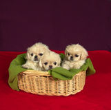 Three pekinese puppies Stock Photos