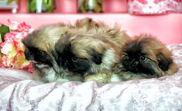 Three Pekingese puppys Stock Photo
