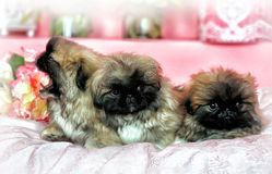 Three Pekingese puppys Stock Image