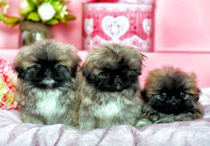Three Pekingese puppys Royalty Free Stock Photography