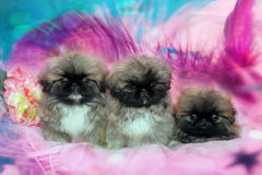 Three Pekingese puppys Royalty Free Stock Images