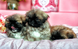 Three Pekingese puppys Stock Images