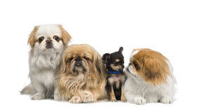 Three Pekingeses and one chihuahua stock images
