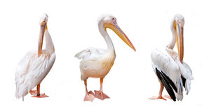 Three pelican beak Stock Photography