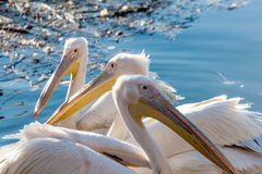 Three pelican floating in the lake close Royalty Free Stock Photos
