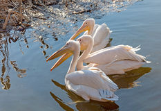 Three pelican floating in the lake Stock Photography