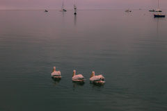 Three pelican swim and fly among the fishing boats at dawn in th Royalty Free Stock Images