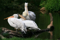 Three Pelicans Stock Photo