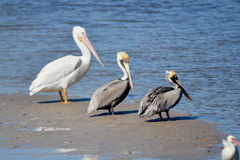 Three Pelicans. Brown Pelicans, Pelecanus occidentalis, and White Pelican, Pelicanus erythrorhynchos, rest on a sandbar at Sanibel Island, Florida Stock Images