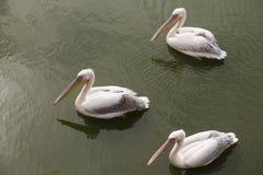 Three pelicans Stock Photos