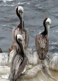 Three pelicans. Three brown pelicans preening royalty free stock photos