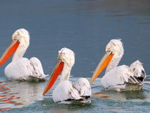 Three pelicans. Three white pelicans on still water stock photography