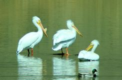 Three pelicans and a duck. Royalty Free Stock Images