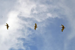 Three pelicans on the sky. Three pelicans flying and gliding on the sky, with wings wide open royalty free stock photography