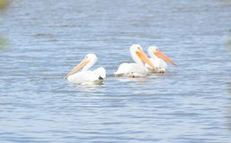 Pelicans on Lake Hefner. Three Pelicans `hanging-out` on a sand bar on Lake Hefner royalty free stock photography