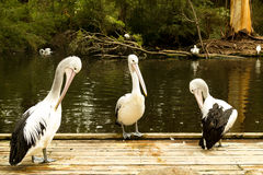 Three Pelicans stock photos