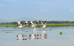 Three Pelicans, Kenya Stock Photos