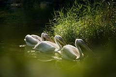 Three Pelicans in a lake. Three Pelicans are swimming in a lake in the zoo stock photography