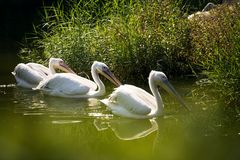 Three Pelicans in a lake. Three Pelicans are swimming in a lake in the zoo stock image