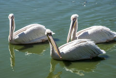 Three pelicans in lake waters. Three pelicans swimming in lake waters close together royalty free stock images