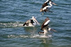 Three pelicans landing. On the ocean surface Royalty Free Stock Photo