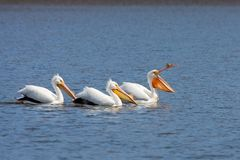 Three Pelicans, Led Into Boredom. An american white pelicans lead two others on a boring swim. The lead pelican yawns as they paddle close together on a quiet royalty free stock image