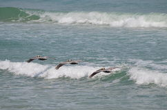 Three pelicans at the ocean Stock Photos