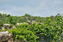 Three Pelicans On The Top Of A Green Tree, Against A Blue Sky And Clouds. Los Haitises National Park Stock Photography