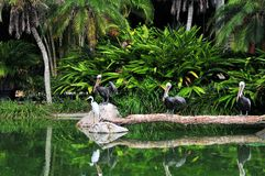 Three pelicans, one egret Stock Images