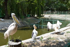 Three pelicans on the pond Royalty Free Stock Image
