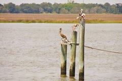 Three Pelicans on Posts Stock Image