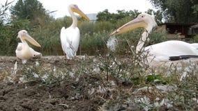 Three pelicans stock video