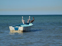 Three pelicans standing on boat. On mexican coast Stock Images