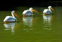 Three Pelicans Swimming in Lake Royalty Free Stock Photo