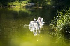 Three Pelicans in a lake. Three Pelicans are swimming in a lake in the zoo stock photos