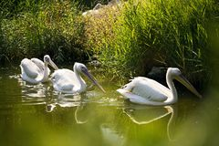Three Pelicans in a lake. Three Pelicans are swimming in a lake in the zoo stock images