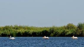 Three pelicans stock image