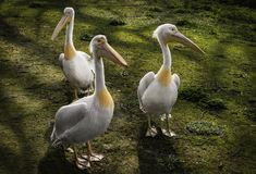 Three pelicans stock image