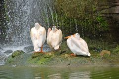 Three pelicans under waterfall. Polite conversation with three pelicans Stock Photos
