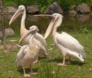 Three pelicans Stock Photography
