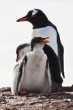 Three penguins in Antarctica Stock Photo
