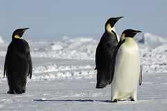 Three penguins in Antarctica