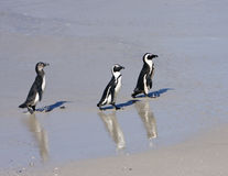 Three Penguins On The Beach Royalty Free Stock Images