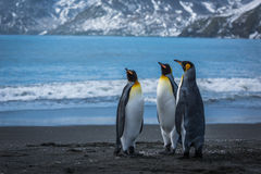 Three penguins on beach with mountains behind Royalty Free Stock Image