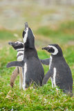 Three penguins Stock Image