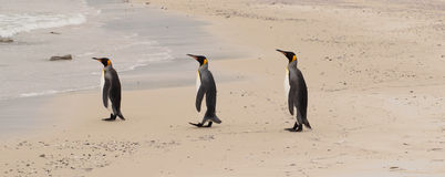 Three penguins in a row Royalty Free Stock Photography